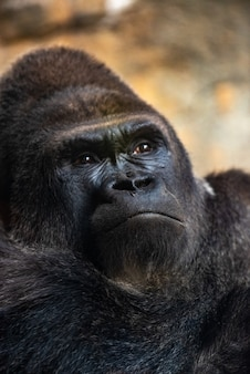Западная мужская горилла сидит, горилла горилла горилла, в зоопарке.