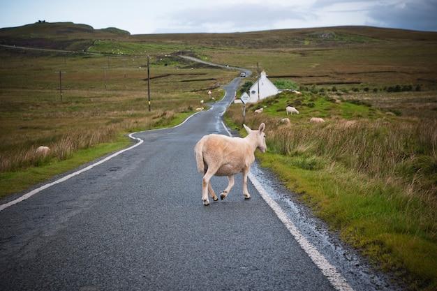 スコットランドの北の道を歩いている羊と牛。