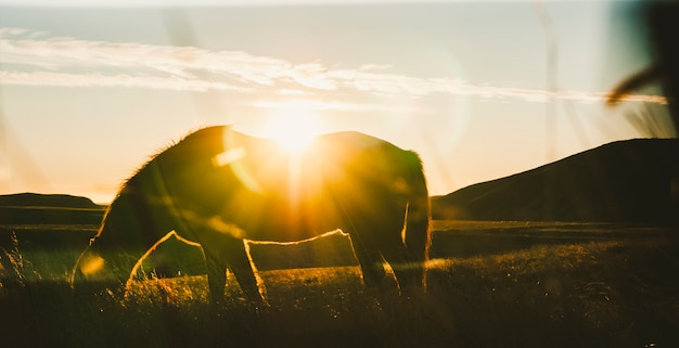 アイスランドの風景、馬の放牧バックライト付きの牧草地の夕日