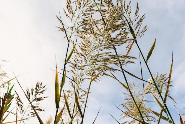 青い空を背景に湿った土から見た葦の茎と種