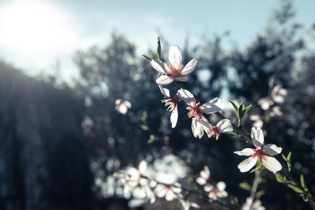 アーモンドの木は春の到来とともに、女性らしい色の柔らかい背景に咲きます。