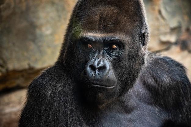 Портрет мощной гориллы с выразительными глазами.