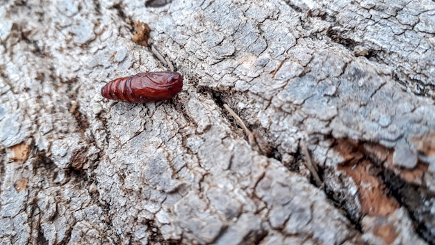 自然の中で散歩中に見つかった木の幹に蝶の蛹。