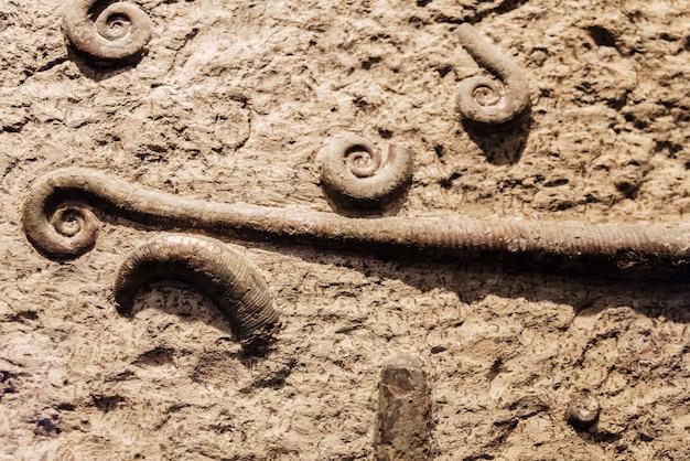 よく保存されているトリシノセラの化石