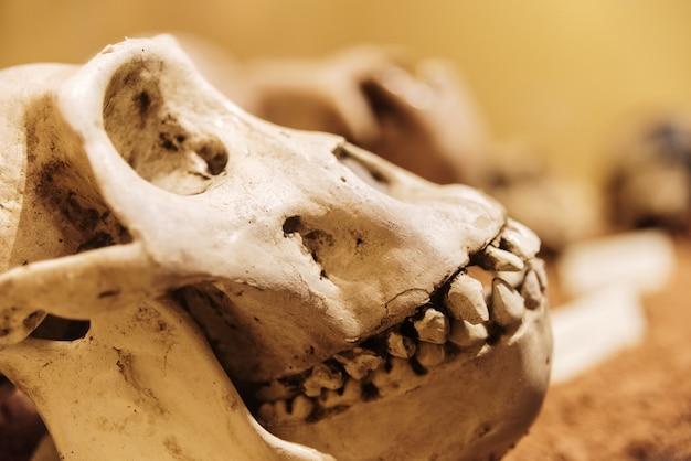 女性ゴリラの頭蓋骨。