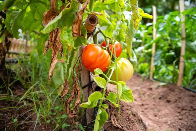 環境に配慮した健康的なオーガニックダイエットのために、ビタミンが豊富な成熟した枝で育った赤いトマト。