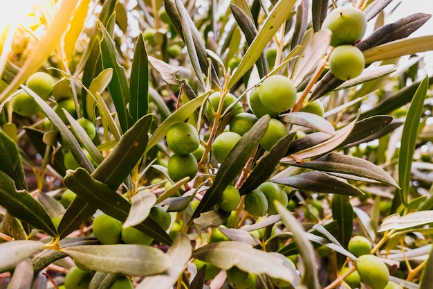 オリーブの枝は木の実でいっぱいです。