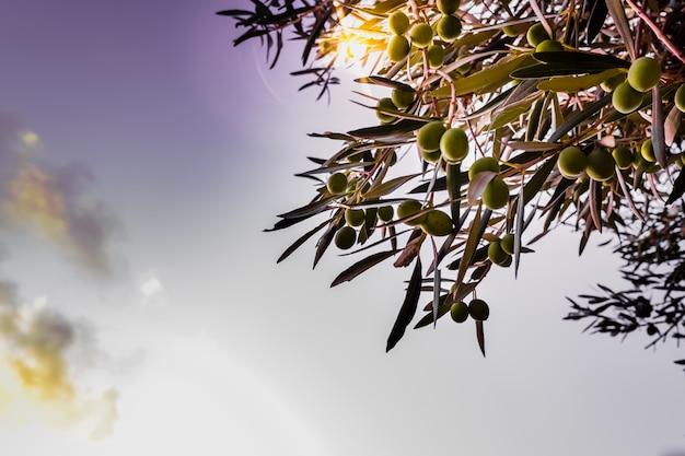 Деталь зеленых оливок на дереве созревания для производства масла.