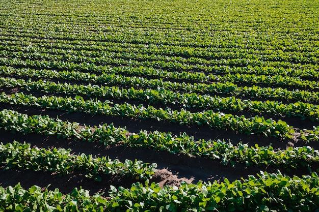 Плантация зеленых редисок лист в саде в валенсии, испании.