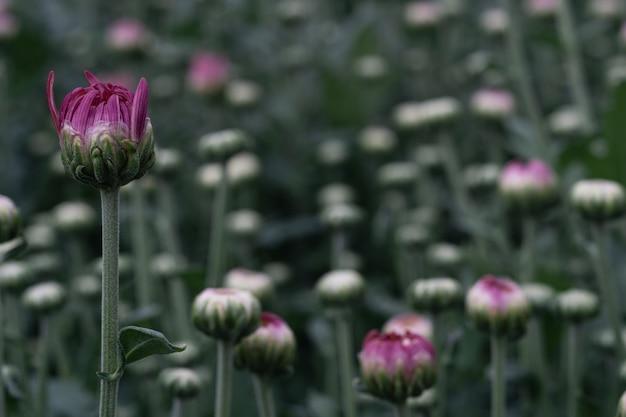 秋の花の背景、庭の小さな菊花の拡大マクロショット