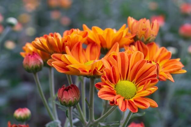 秋の花、庭でオレンジの菊の花の拡大マクロショット