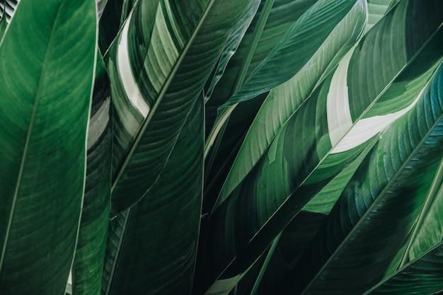 抽象的な熱帯の緑の葉のテクスチャ背景、大きな葉、緑の自然の背景。