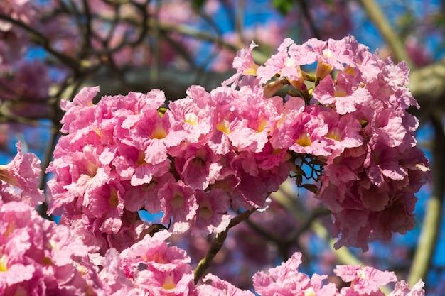 ピンクのトランペット木の花が咲きます。