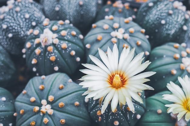 Красивый белый цветок кактуса