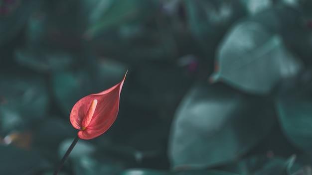 自然の中でピンクのアンスリウムの花