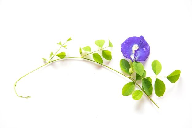 蝶エンドウの花