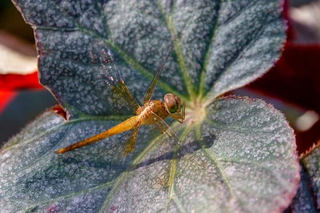 Закройте вверх по красивой стрекозе на зеленых листьях. стрекозы таиланда.