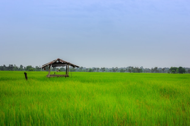 金色の田んぼの景色と古いコテージのキャビン