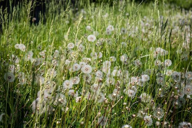 牧草地にふわふわの白いタンポポ