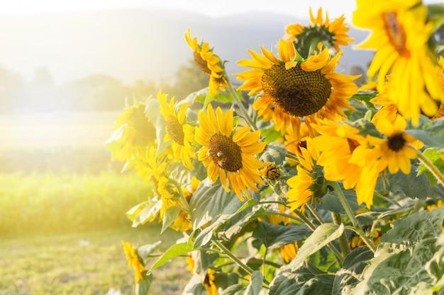 夏の空の背景に黄色のヒマワリ