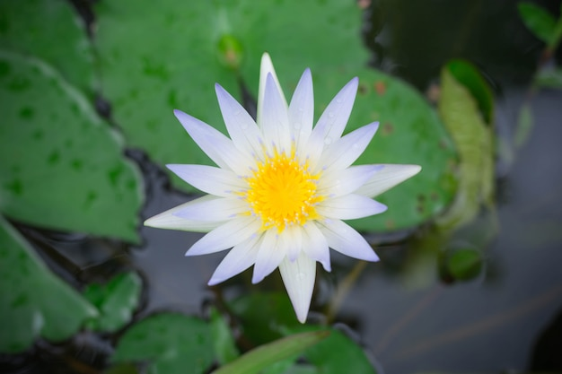 池の表面に黄色の花粉と白い蓮