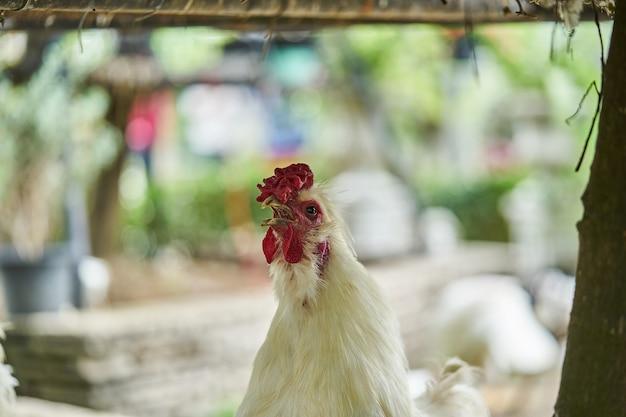 リアルホワイト農業家禽チキン