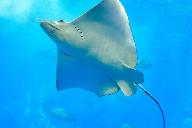 透明なガラスの海の光線または水槽で泳いでいるイーグル光線を見る