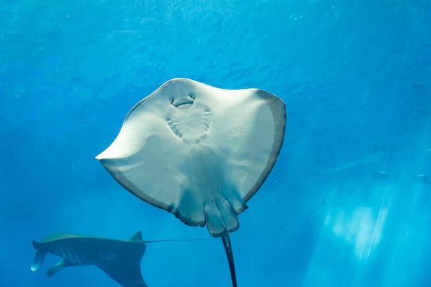 水中の海の生物とガラスの背後にあるさまざまなアカエイ