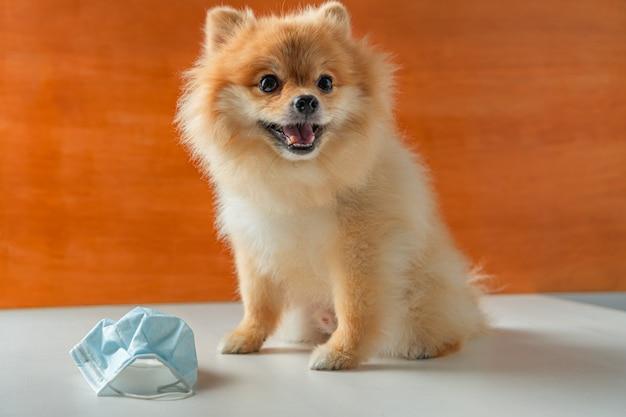 ポメラニアン、小型犬は白いテーブルと健康マスクの上に座る