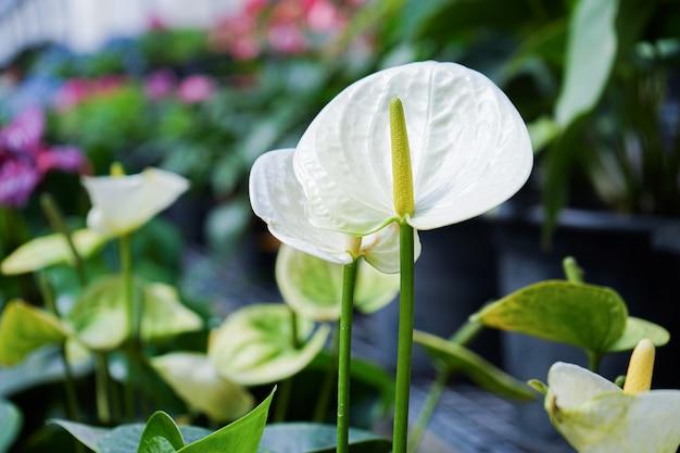 棚に置いたプラスチック鍋に白いアンスリウムの花