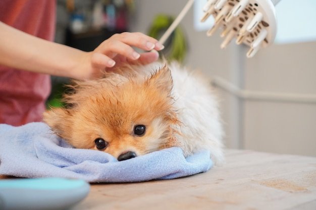 ペットシャワー、ポメラニアンまたは小型犬の品種は木製のテーブルの上に座って、青い吸収布とヘアドライヤーで犬の髪を乾かします