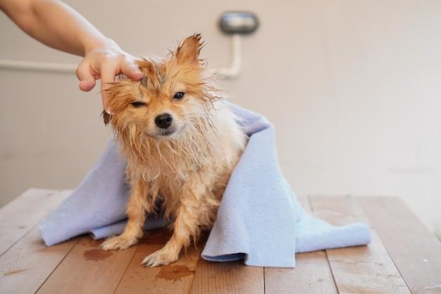 小型犬は木製のテーブルに座って、青い吸収布で犬の髪を乾かします
