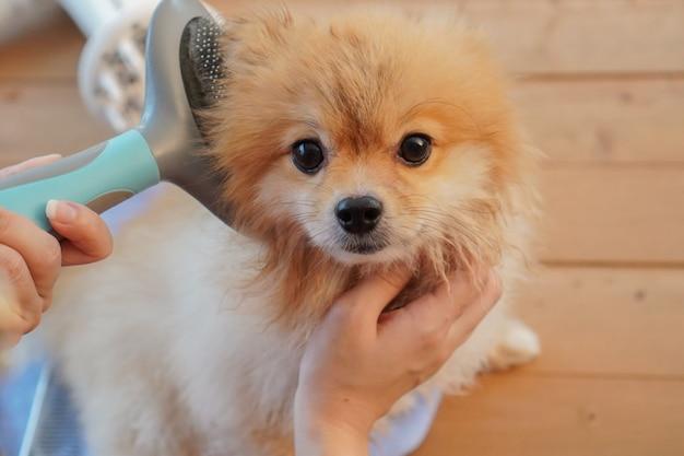 Маленькая собачка ложится на деревянный стол и расчесывается щеткой