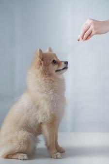 Маленькая собака породы или шпиц с каштановыми волосами сидит и ждет и смотрит на закуску для награды