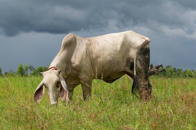 Белые коровы пасутся на пастбище.