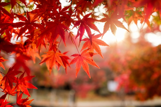 ぼやけた日光と廊下の庭で赤いカエデの葉
