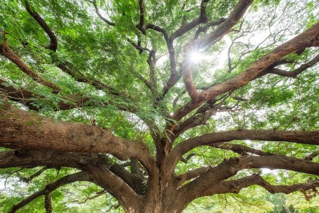 大きな雨の木の枝の木陰