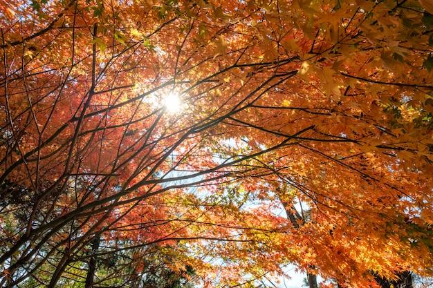 赤いカエデの葉の日光が輝くトンネル