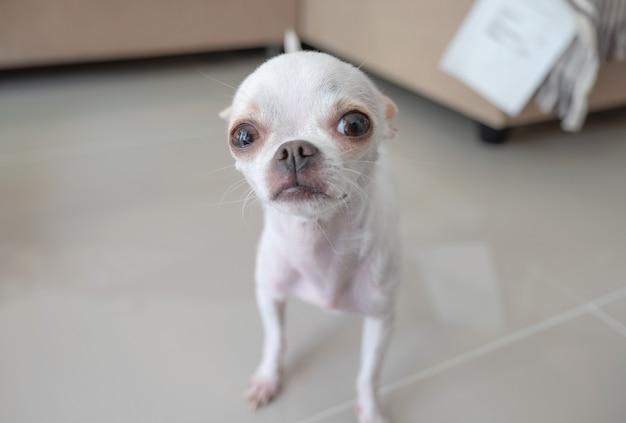 Белый маленький щенок чихуахуа стоит и смотрит