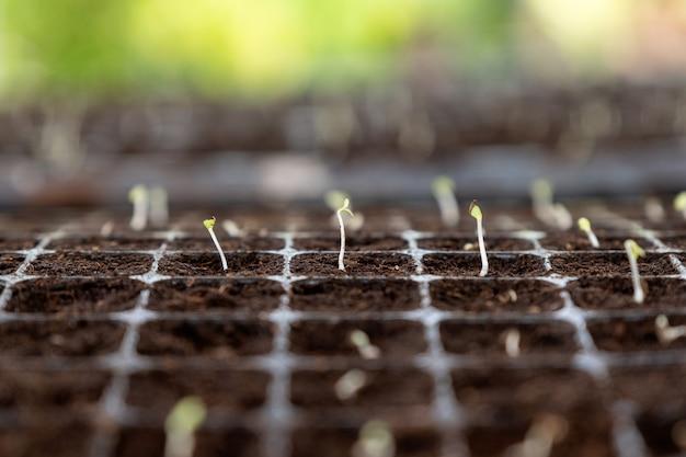 Росток рассады растет на земле в лотке