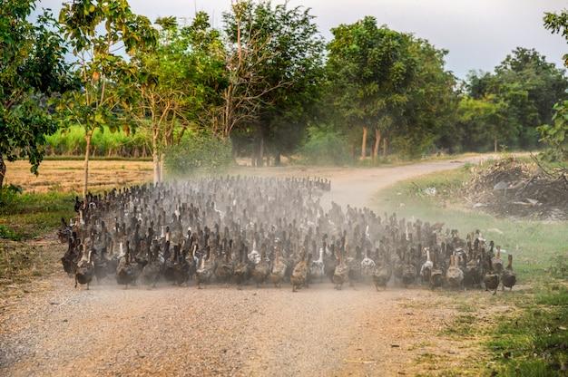 未舗装の道路上の群れのアヒルの群れ