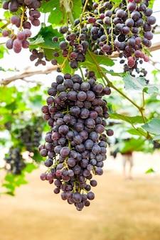 ブドウ園のブドウ房フルーツ
