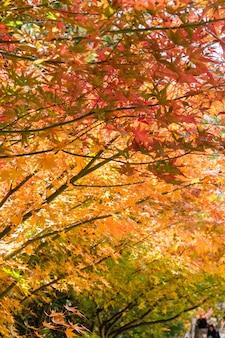Красивые кленовые листья