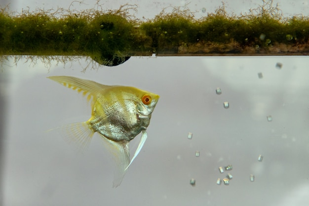 黄色の小さな魚、魚の藻類