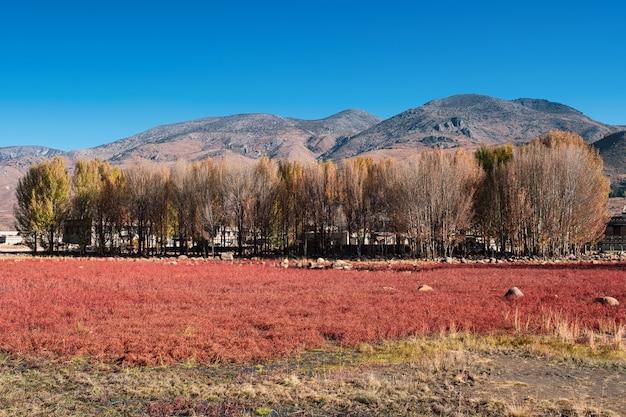 湿地の秋の赤い草原とイチョウの木