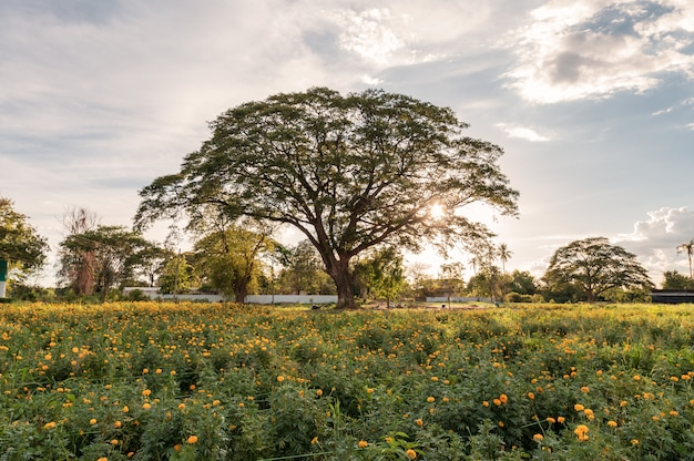 夕方の花マリーゴールドガーデンで巨大な雨の木