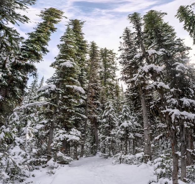 冬の青い空と松の木が雪に覆われています。