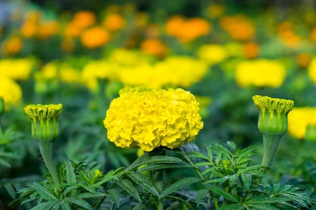 マリーゴールドの咲く黄色い花