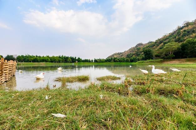 沼でリラックスした白いアヒルの群れ