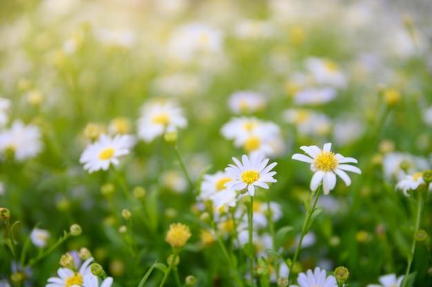 デイジーの花やカモミールの黄色い花粉の花